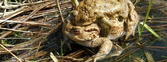 Rozmnožování žab Vysočina - Sdružení krajina