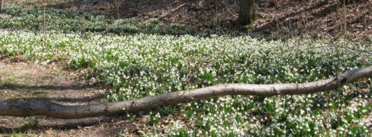 Kvetoucí bledule, Žďárské vrchy