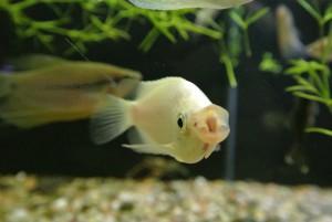 cherra akvaristika zdar nad sazavou chovatelske potreby ryby rostliny13
