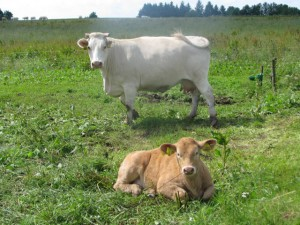 kravy-u-studnic1