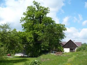lukasova-lipa-strom